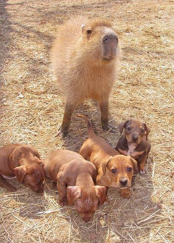 """水豚""""奶酪蛋糕""""收养了一窝小狗"""