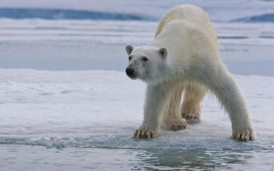 动物 北极熊/据维基百科介绍,北极熊又称白熊,是在北极生长的熊,它是陆上...