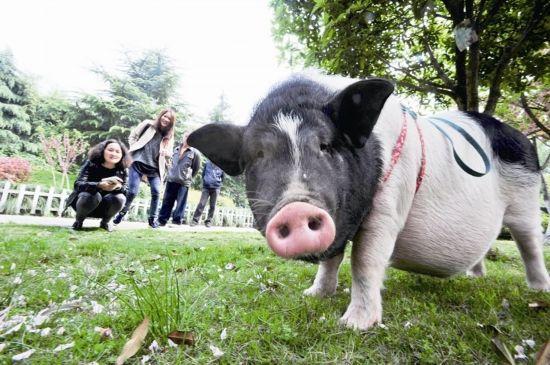 """""""猪猪""""长得很快,现在体重已超过150斤。在闵惠清和老伴的悉心调教下,它养成了定时、定点大小便的习惯。闵惠清表示,""""以前出去遛猪还觉得有点不好意思,现在看大家都对它很友善,我也觉得蛮有面子,就是担心以后它长得更胖了,我难得牵住它。"""""""