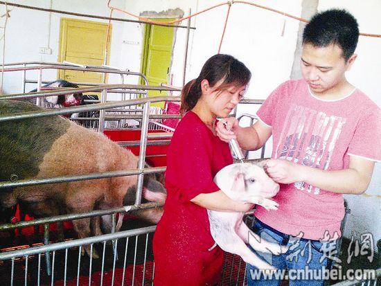 图为:姐弟二人给小猪注射疫苗