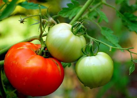 """水果 西红柿/从植物学上来看,西红柿是""""果实""""。"""