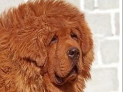 最昂贵的狗,售价150万美元。