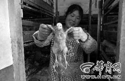 商洛一孵化场孵化4条腿小鸡 专家 正常基因变异图片