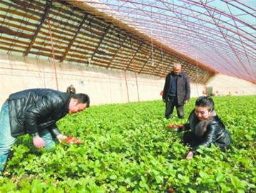 采摘园让冯国恩种草莓不用赶市场
