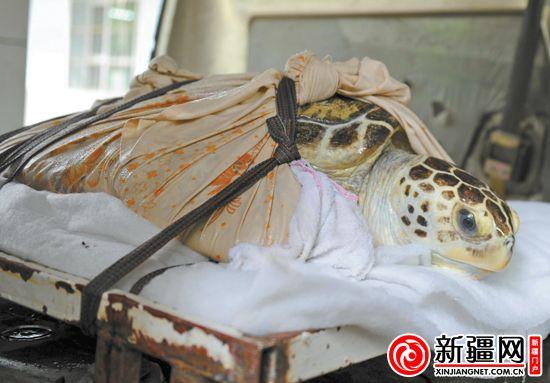 乌鲁木齐市海洋馆一百岁海龟做胃镜 取出四根刺状物(图)