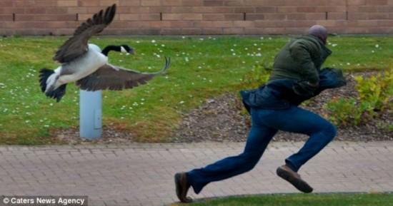 """英国""""愤怒大鹅""""大学筑巢 为护蛋攻击路人"""