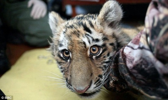 西伯利亚虎,又称东北虎,是世界上体积最大的猫科动物,捕食鹿,野猪