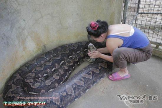 有最大的蟒蛇,巨型亚马逊森蚺,更有黄金大蟒蛇.