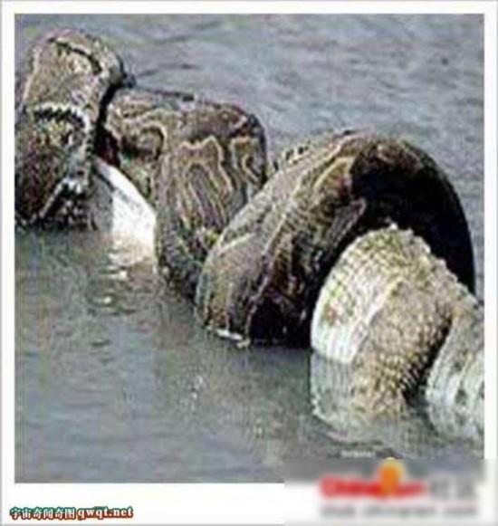 基尼斯世界记录最大的蟒蛇