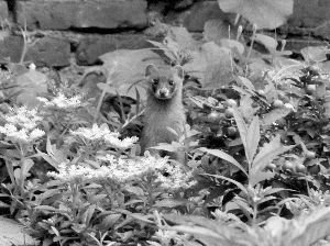 南京一家和院子旁黄鼠狼家族友好相处20年