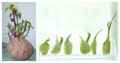 买回家的金针菇黄瓜还能 自己长大 专家称有可能