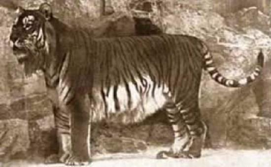 已经灭绝的10种动物:身上有袋子的食肉动物