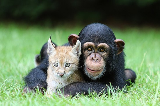 美国南加州默特尔海滩野生动物园的一只黑猩猩幼崽和
