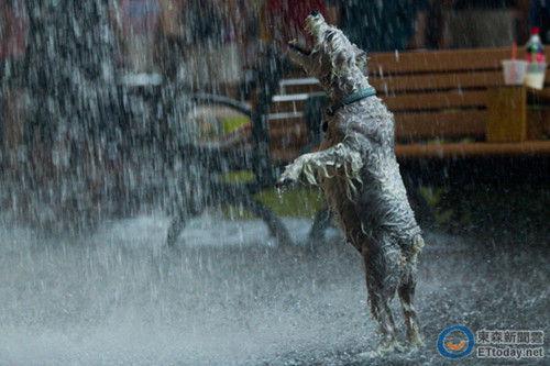 小狗站直身子开怀戏水   原标题:遛弯突遇大雨 小狗站直身子开怀戏水   台海网7月8日讯 据台湾东森新闻网报道,6日的台北午后下了一场大雨,一只正在街头遛弯的雪纳瑞躲也不躲,反而站直了身,张口接雨水,双手在雨中扑打,活生生成了雨狗一条。   狗主人似乎豁出去了,就让毛小孩尽情在雨中戏耍。照片传上网后,网友留言说,相信它睡觉会有个甜蜜的梦境,单纯的快乐。