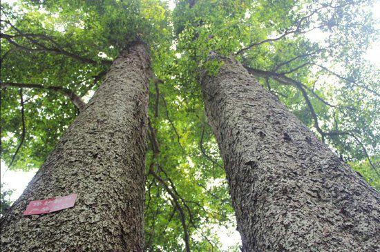宜宾夫妻桢楠树引围观 众情侣慕名参观(图)