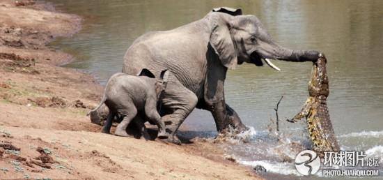 两头非洲象到湖边喝水遭鳄鱼突袭引爆大战