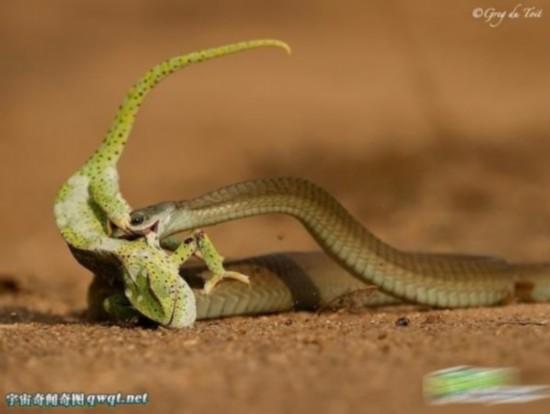 盘点动物捕食的惊险时刻 小蛇活吞大鱼图片