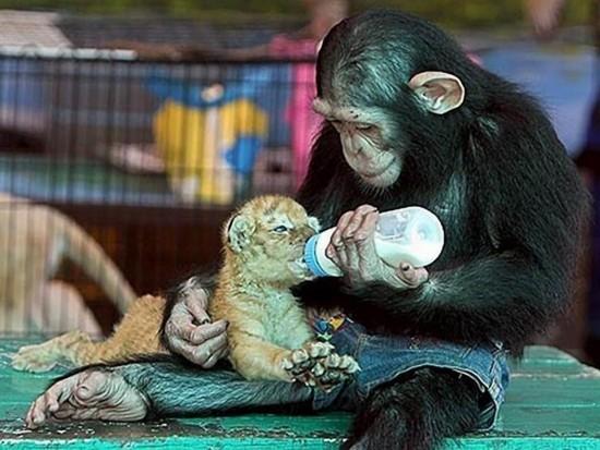 动物妈妈养育异族宝宝展无私母爱
