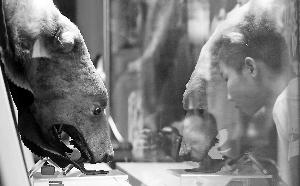 溥仪珍爱的北极熊熊皮在颐和园亮相。首席摄影记者 蔡代征/摄