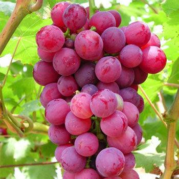 不同品种功效大不同:甜葡萄补血 酸葡萄消食