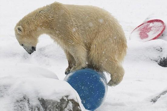 6岁的北极熊奥罗拉(aurora)住在美国俄亥俄州的哥伦比亚动物园,它