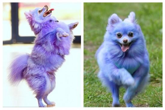 害羞宠物狗染亮色后性格变活泼(组图)图片