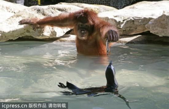 大猩猩怎么折