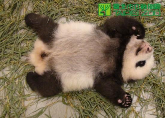 台北市立动物园发言人吴欣怡表示,圆仔下排牙龈已经有3颗牙齿微微