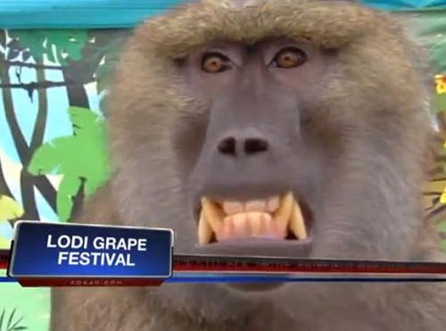 【组图】女主持节目现场遭狒狒袭胸达15分钟