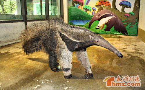 大食蚁兽做客无锡动物园 卡通人偶加入动物大巡游