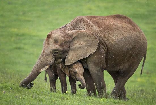 大象用身体为小象遮雨 实拍动物家庭超甜蜜亲子照(组图)