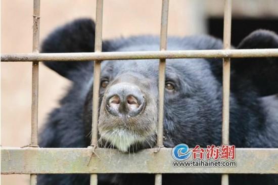 福建频道  黑熊  昔日明星今朝落魄   小时候,它也算是动物园的明星