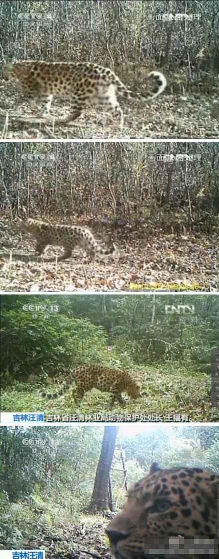 中国首次拍摄到野生东北豹母子出游(组图)