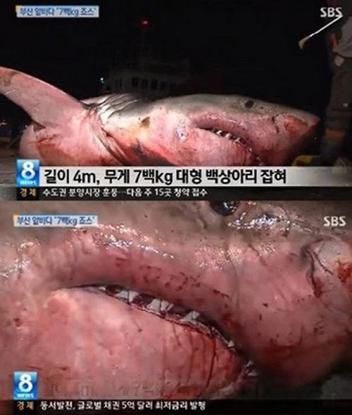 韩国釜山惊现4米长大白鲨引热议 网友震惊(图)