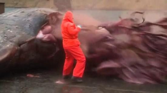 丹麦一只死亡抹香鲸突然爆炸 只剩皮囊