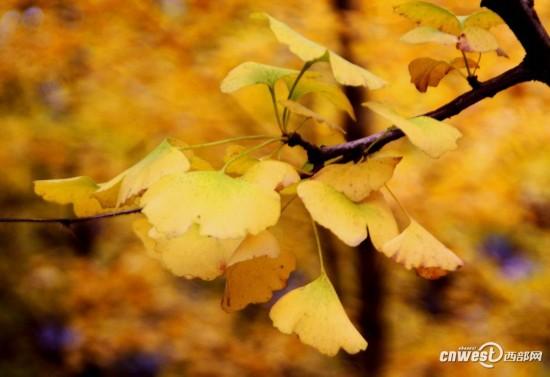 金色小扇般的银杏树叶