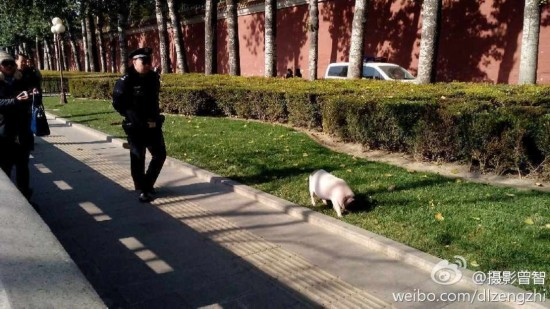 天安门 长安街/原标题:宠物猪在天安门溜达警察已控制局面