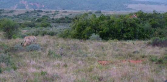 南非雌狮丛林伺机猎食高大长颈鹿 终大获全胜