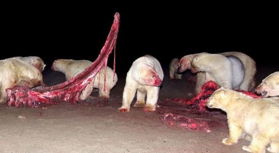20余只北极熊围食鲸鱼尸体 场面震撼