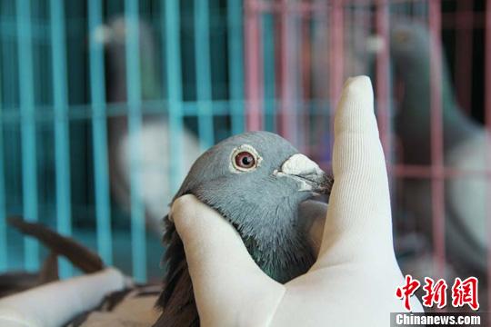 新疆举行信鸽 选美 图