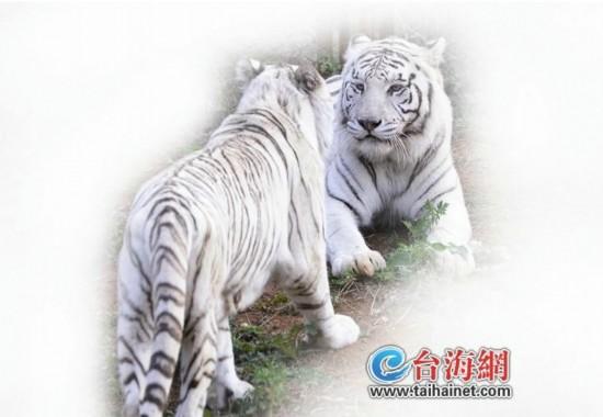 海沧野生动物园为白色孟加拉母虎引进一只公白虎