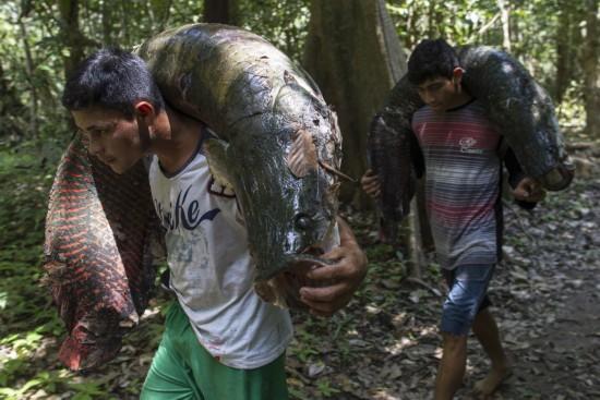 亚马逊捕捞活化石巨骨舌鱼:体型巨大用肩扛/图