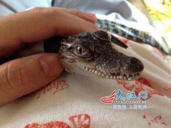 飼主在展示寵物鱷魚(圖片由網友提)