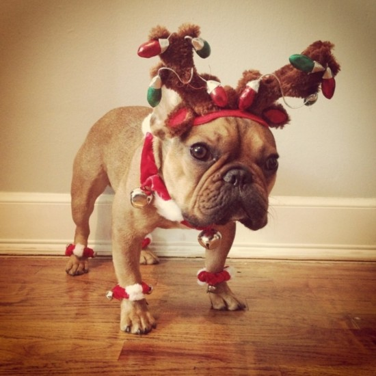 funny christmas bulldog - photo #18