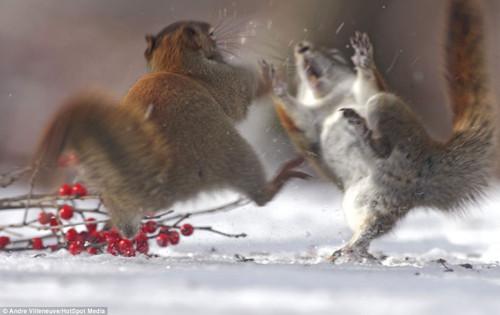 """两只松鼠不惜为食物大打出""""手"""".-吃货 松鼠为美食劈腿"""