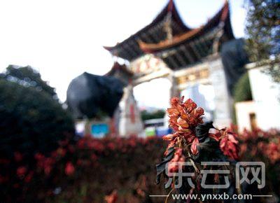 云南昆明持续低温天气 大量鲜花被冻伤冻死
