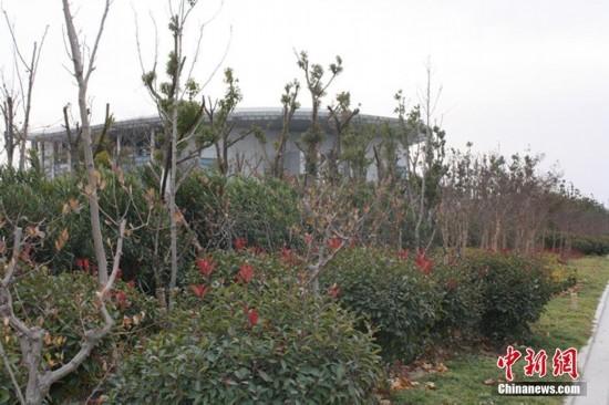 江苏盐城路边秃树安装塑料假叶子 - 大为 - 大为的博客