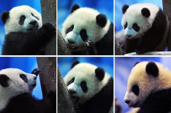 媒体赠台熊猫大陆圆仔首次与宝宝觉得(图)搞笑图片的帅见面自己图片