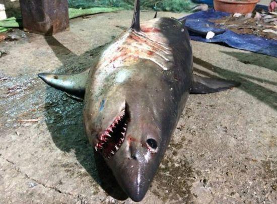 韩国海域惊现大白鲨 网友担忧称以后不敢游泳