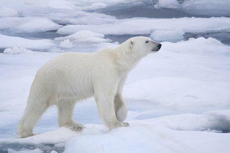 北极寒流劲吹美国 动物园北极熊进室内避寒